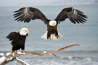 Bald Eagle Facts for Kids  North American Birds